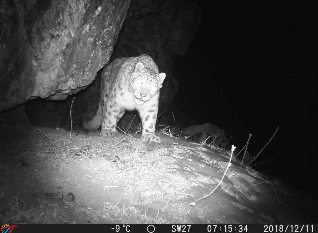 红外相机拍摄雪豹